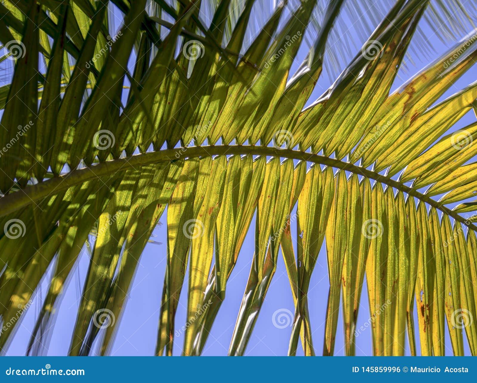 有午间太阳的光的棕榈树叶子