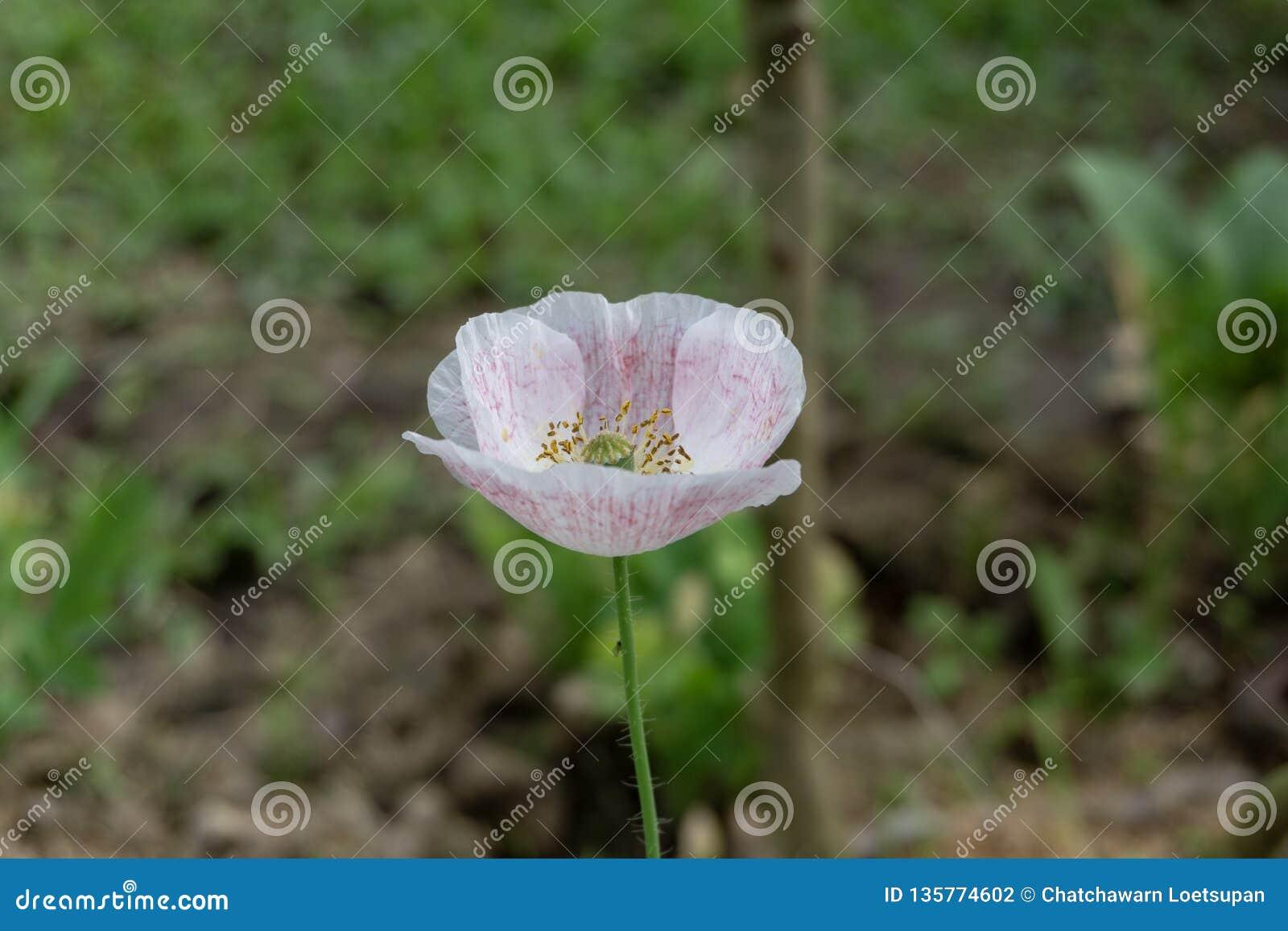 有华丽的花、乳状树汁和被环绕的种子胶囊的一个草本植物 许多鸦片包含生物碱并且是博士的来源