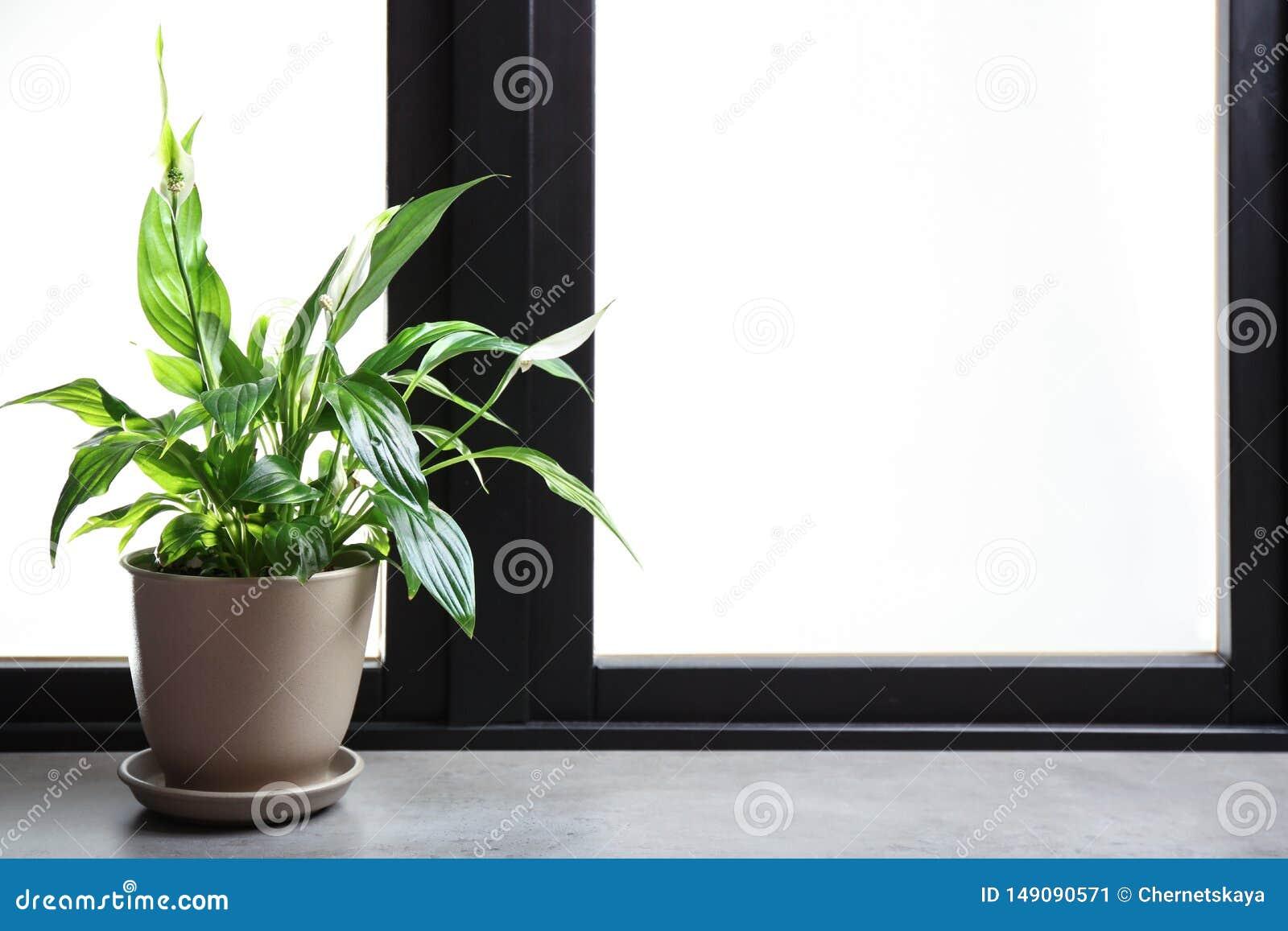 有和平百合的罐在窗台 议院植物