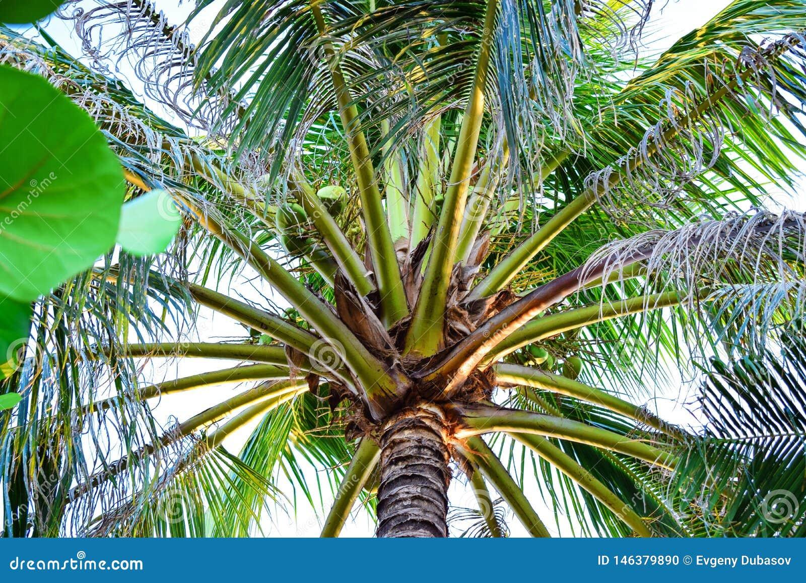 有大叶子和椰子的令人惊讶的绿色棕榈在热带