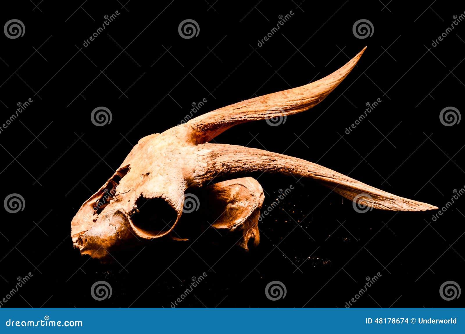 有大垫铁的干燥山羊头骨在黑背景.