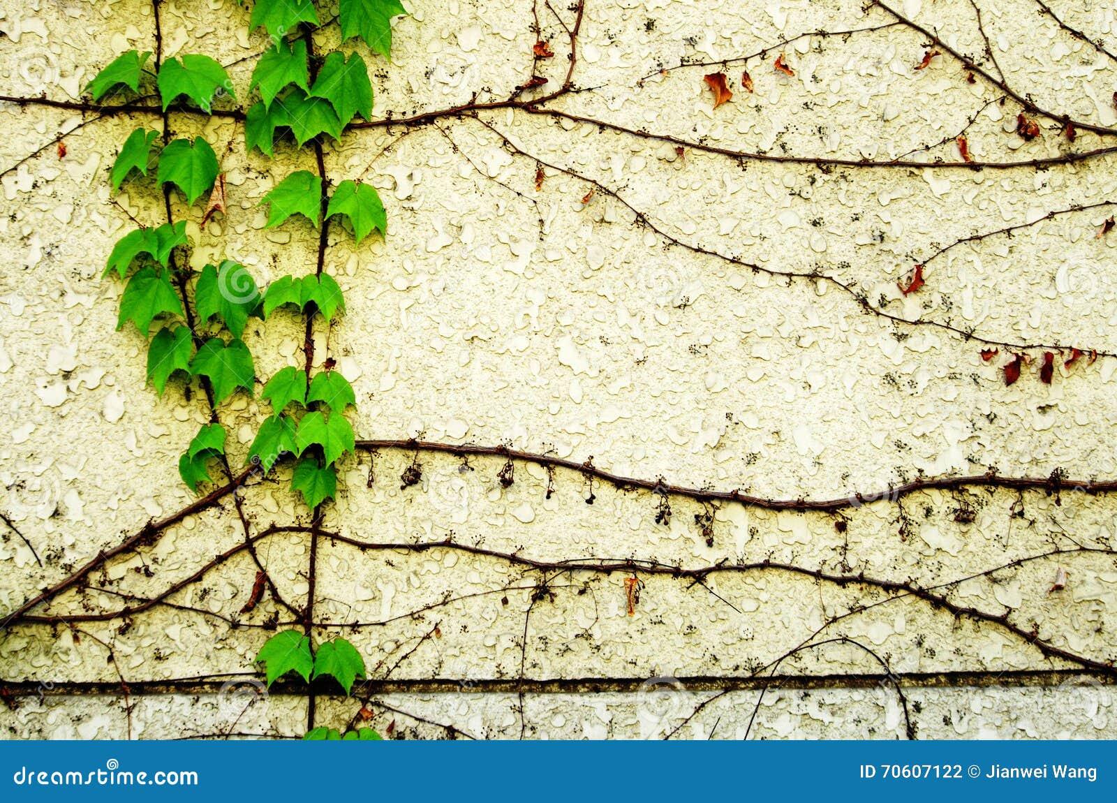 有常春藤的墙壁