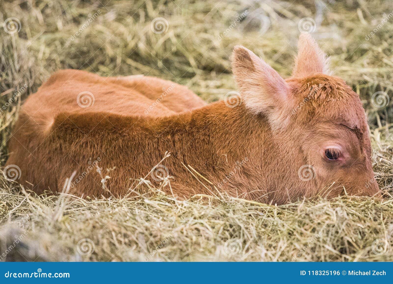 有幼小的母牛说谎在地面上和Vogafjos母牛的一基于