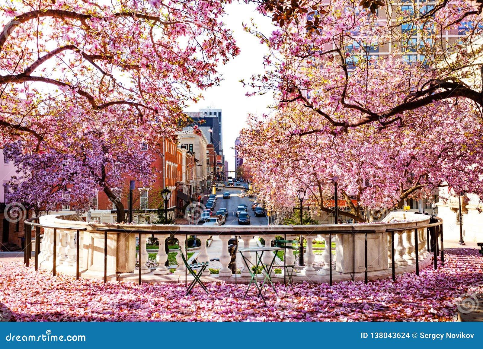 有开花的木兰的巴尔的摩市在春天
