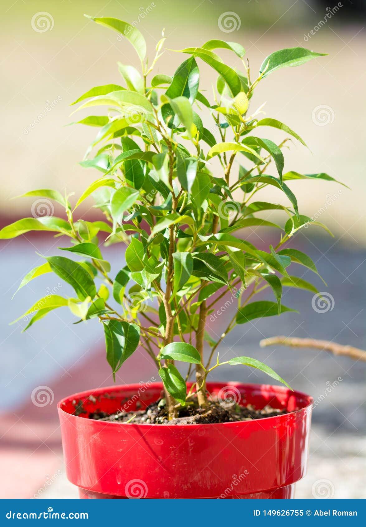 有很多叶子的绿色植物在一个红色罐
