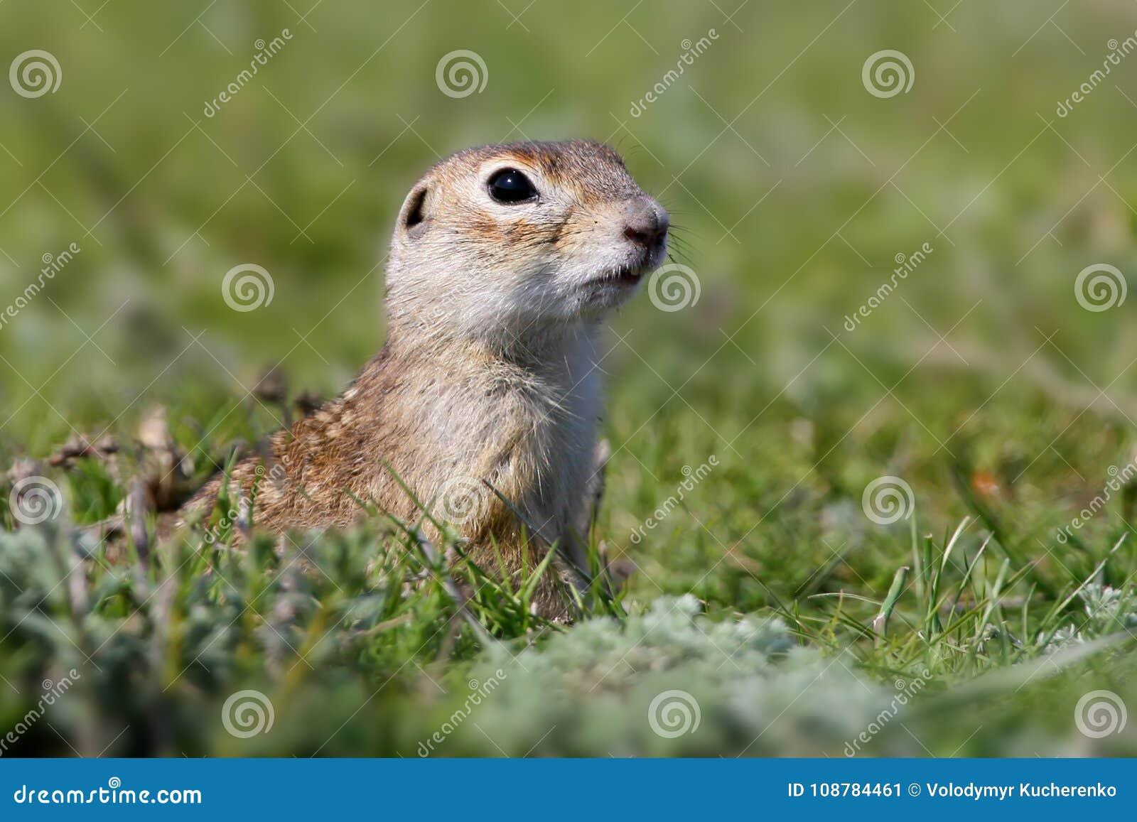 有斑点的地松鼠坐地面