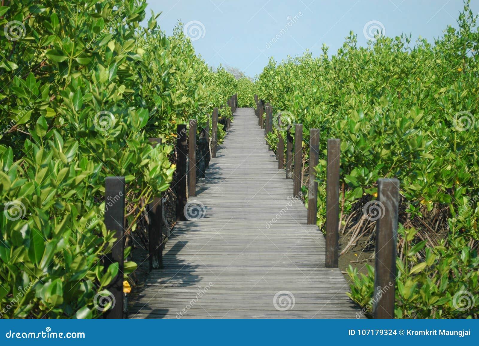 有木桥的美洲红树森林