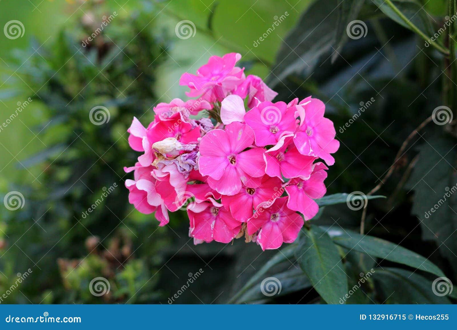 有束的福禄考paniculata笔直草本四季不断的植物开花和开始凋枯光到黑暗的桃红色花
