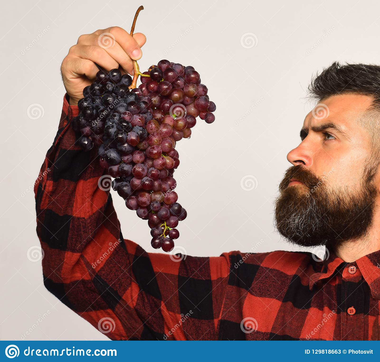 有梦想的面孔的种葡萄并酿酒的人吃紫色葡萄群