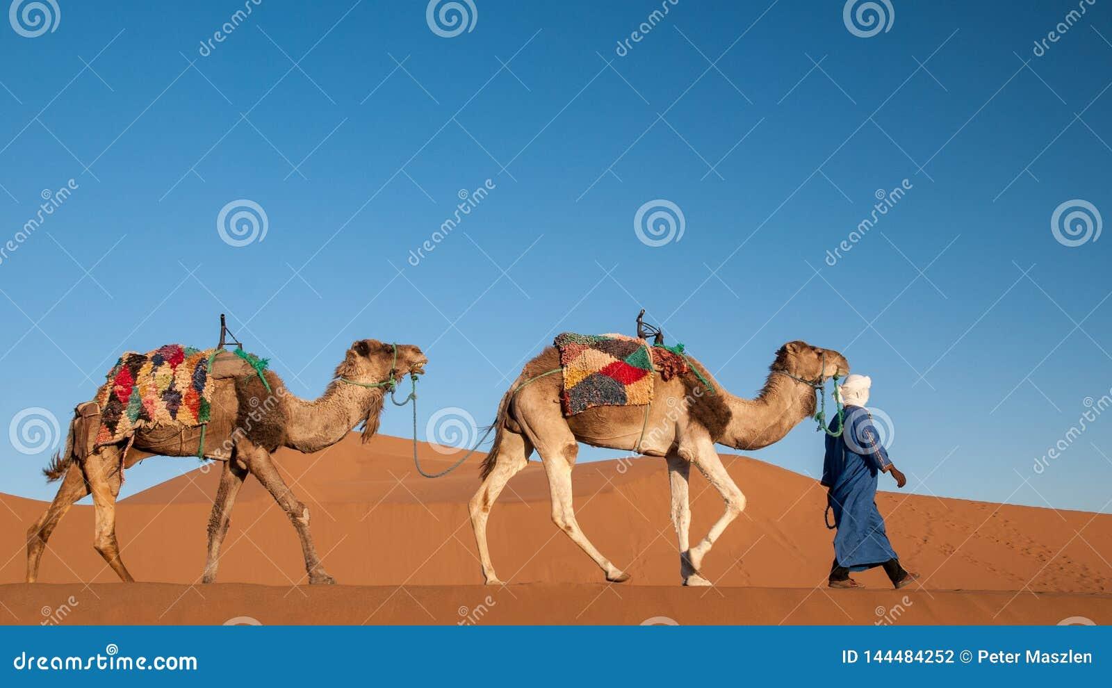 有游牧人的独峰驼有蓬卡车在撒哈拉大沙漠摩洛哥