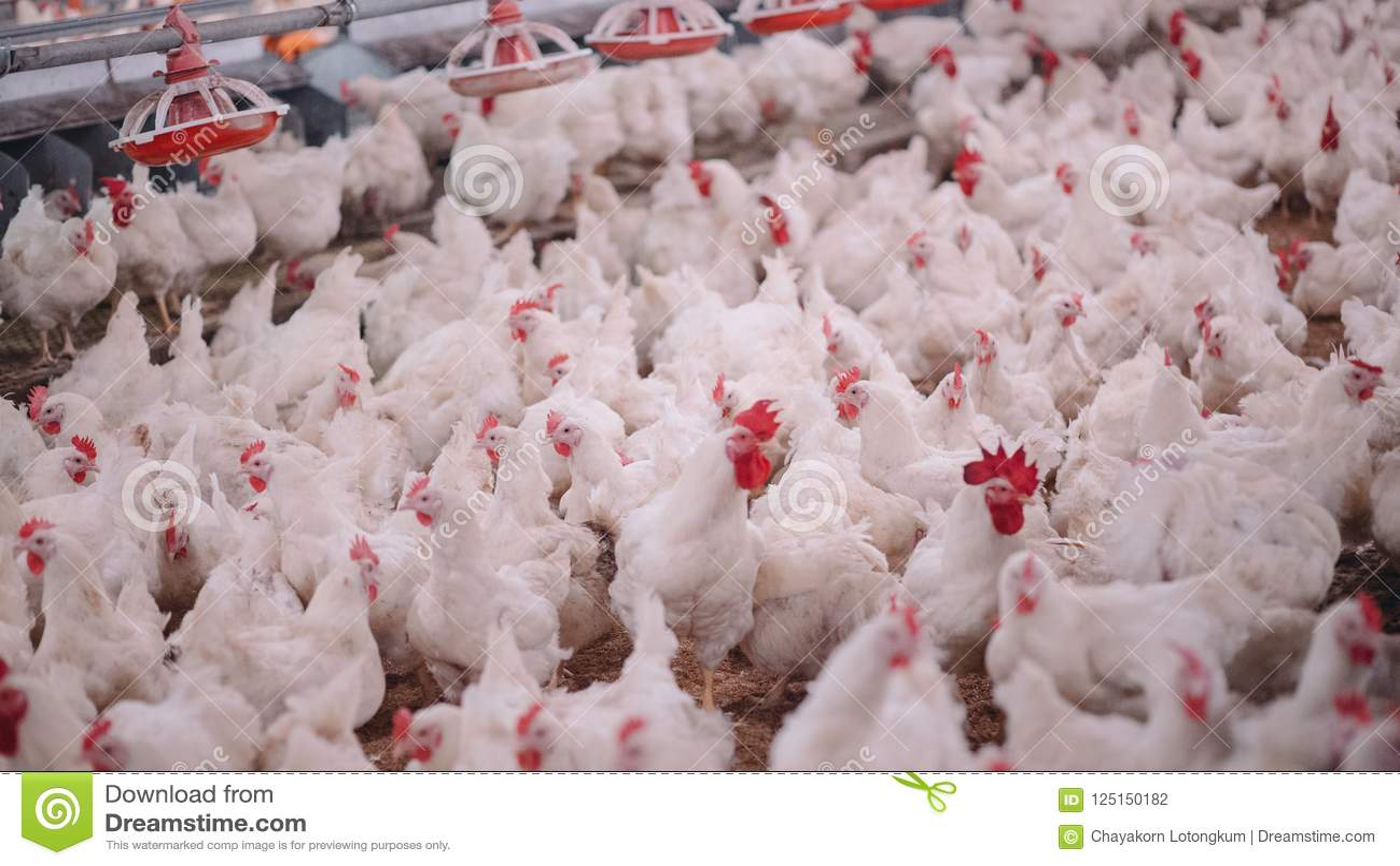 有烤焙用具交配动物者鸡的家禽场