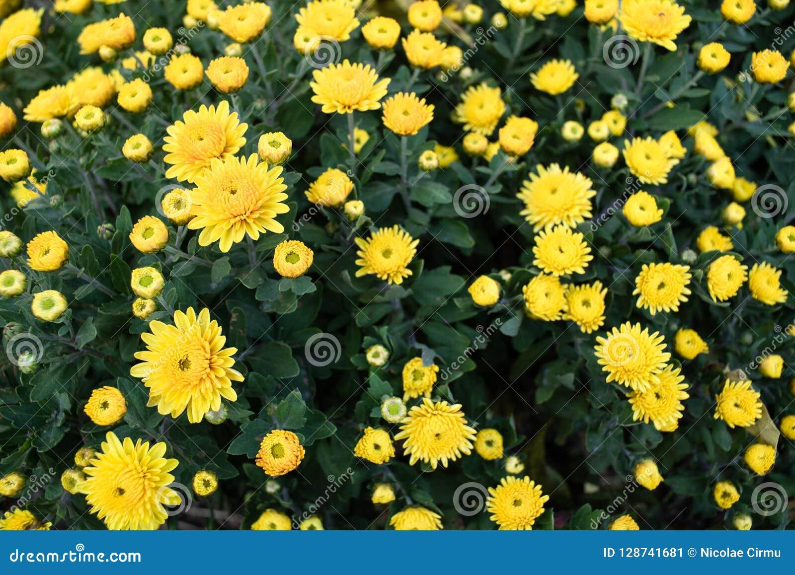 有狂放的黄色花的布什