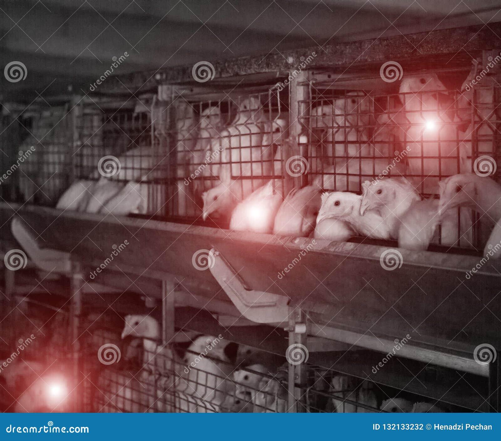 有病的鸡的,emidemia和鸡疾病家禽场,兽医