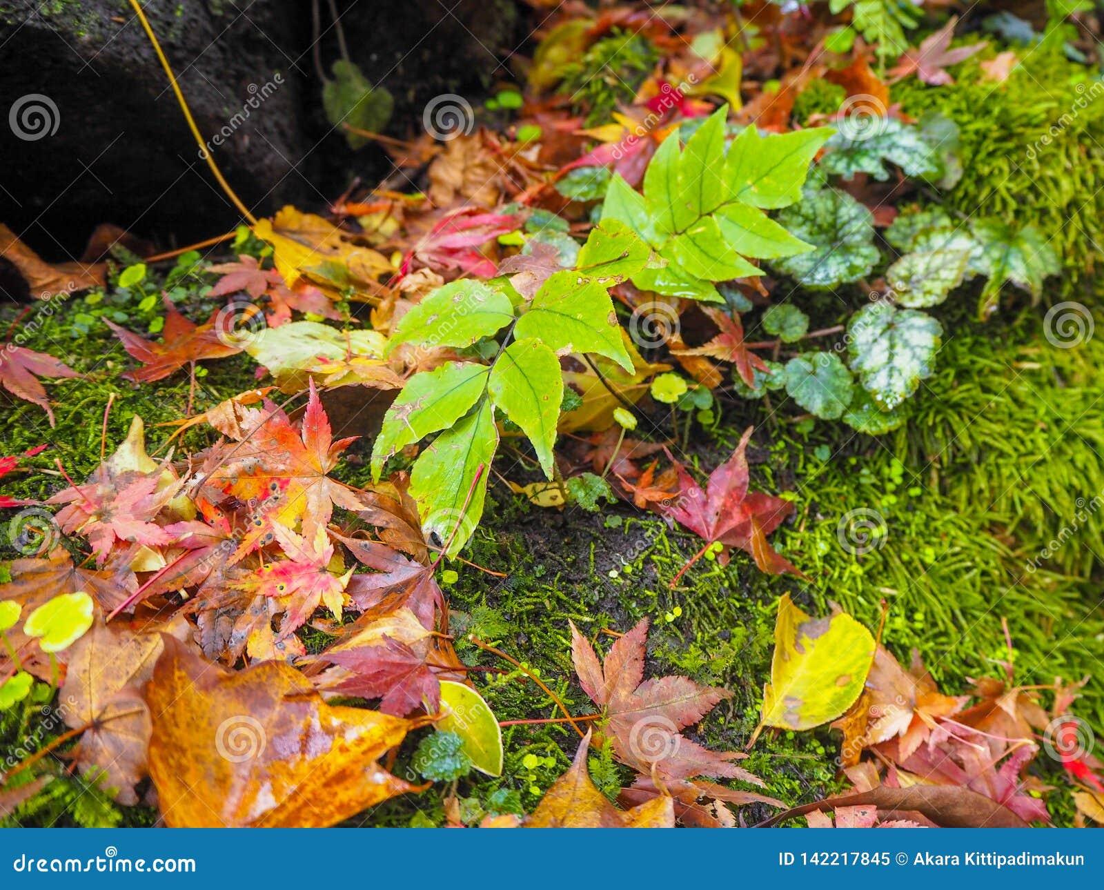 有秋天枫叶的叶子在生苔岩石