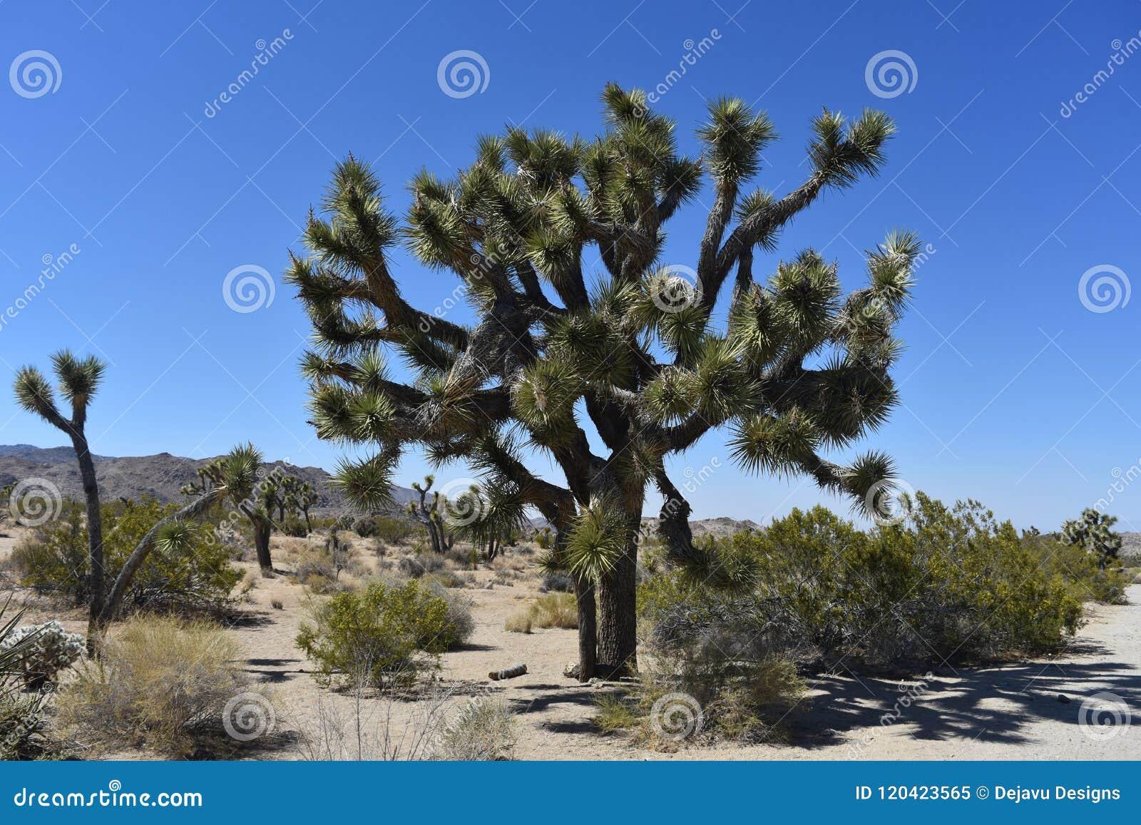 有约书亚树生长的加利福尼亚莫哈维沙漠