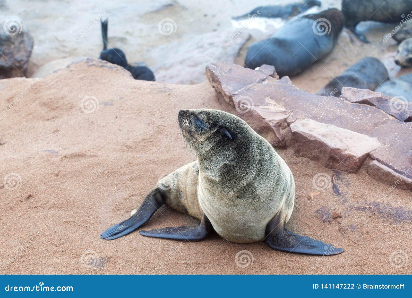 有耳的布朗海狗殖民地在海角十字架,纳米比亚,南非的,