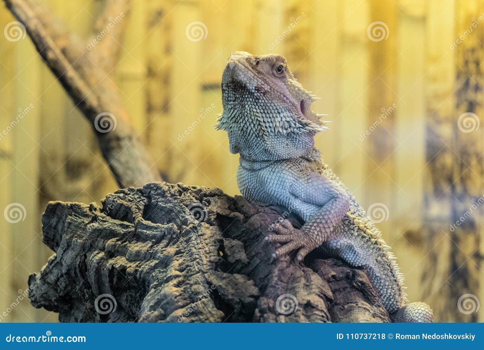 有胡子的蜥蜴坐在玻璃容器的一个木分支