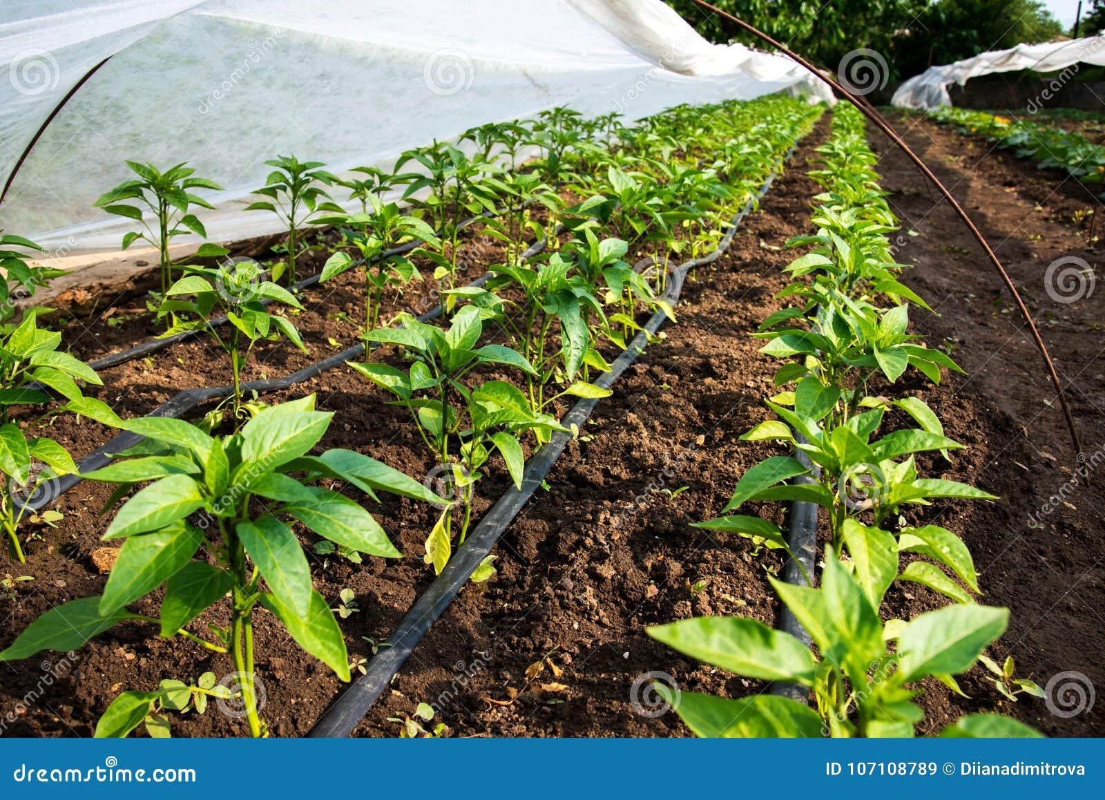 有胡椒植物和水滴灌溉的温室