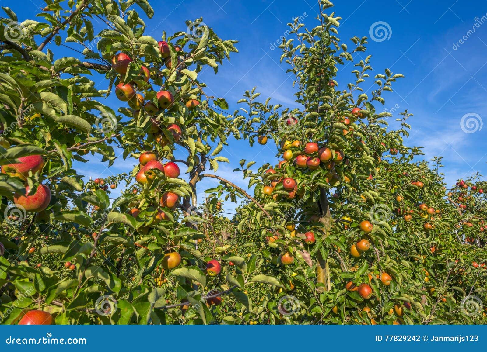 有苹果树的果树园在领域