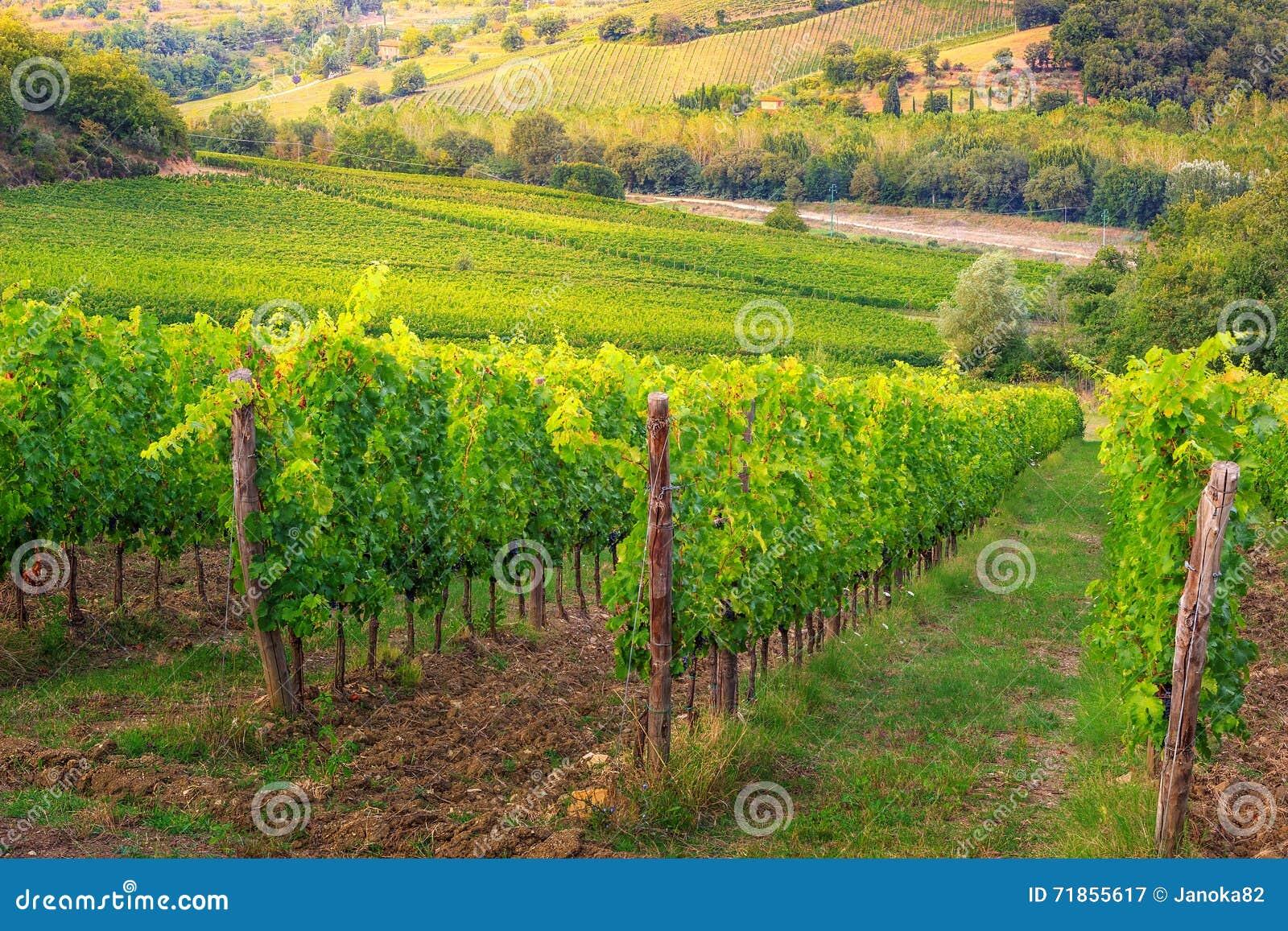 有葡萄,托斯卡纳,意大利,欧洲行的壮观的葡萄园