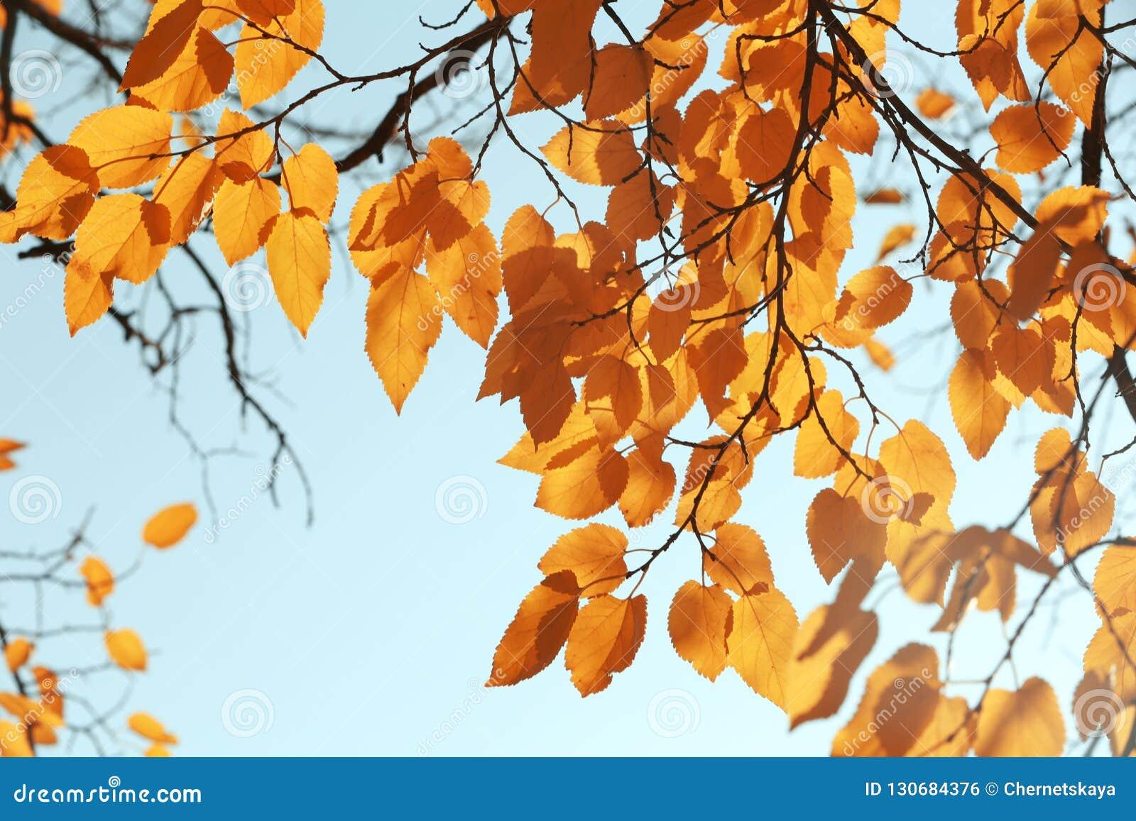 有被日光照射了金黄叶子的枝杈在秋天天