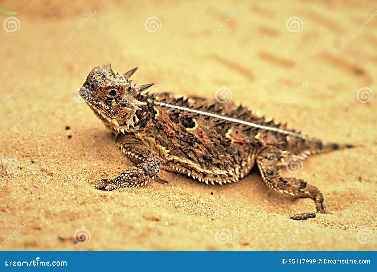 有角的蜥蜴得克萨斯