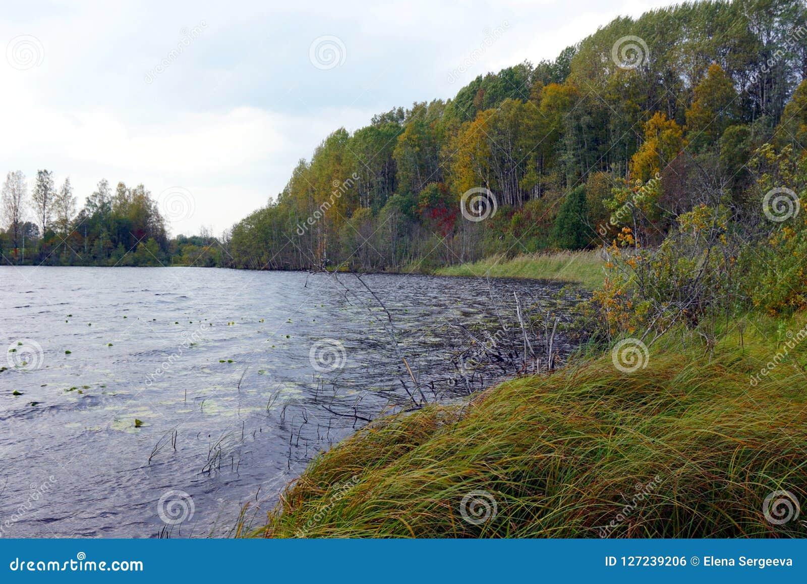 有象草的岸的Forest湖在秋天
