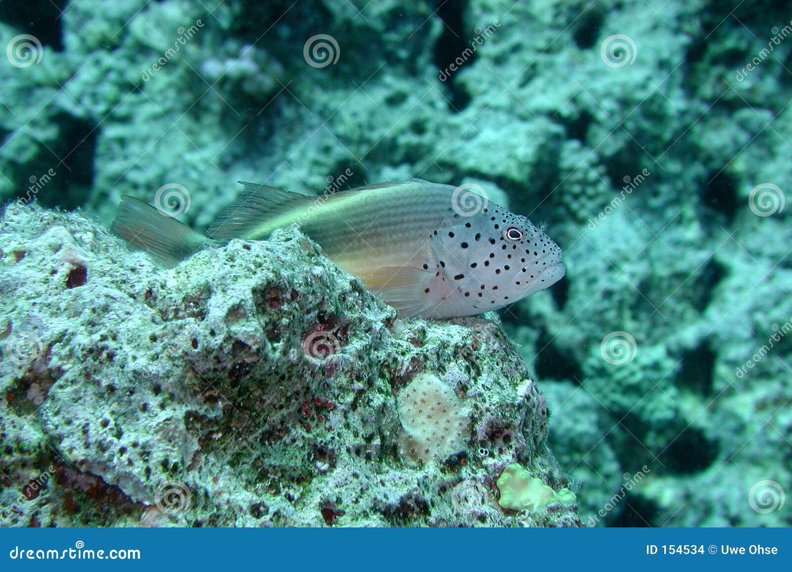 有雀斑的hawkfish