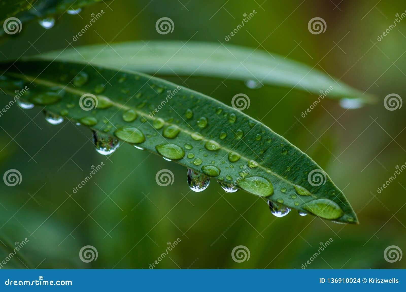 有雨珠的夹竹桃叶子