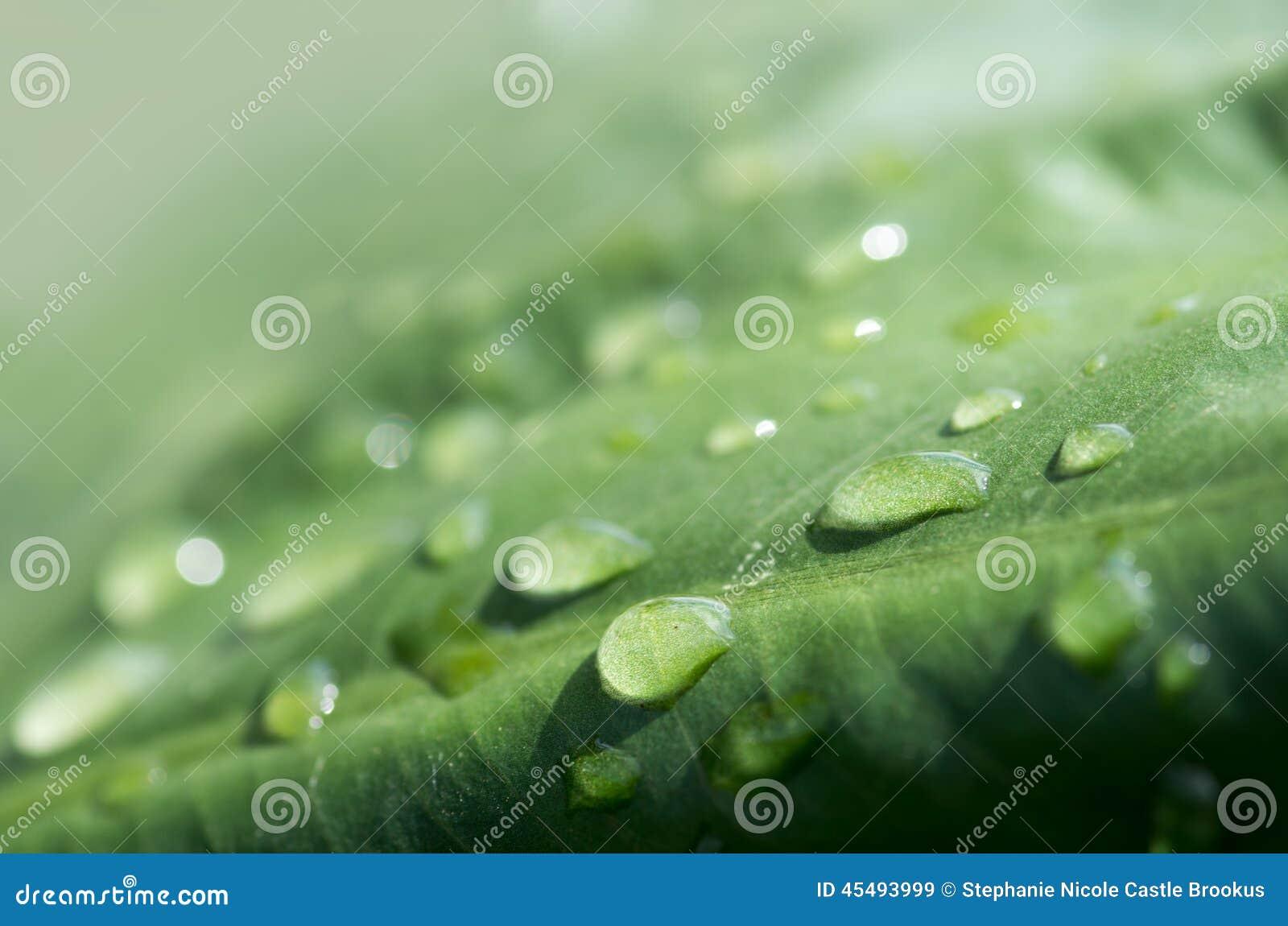 有雨的绿色芋头叶子