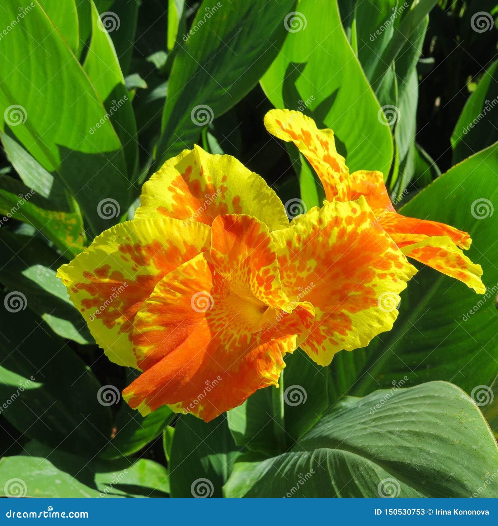 有黄色瓣和红色斑点的花坎纳黄色国王亨伯特在他们以绿色叶子为背景