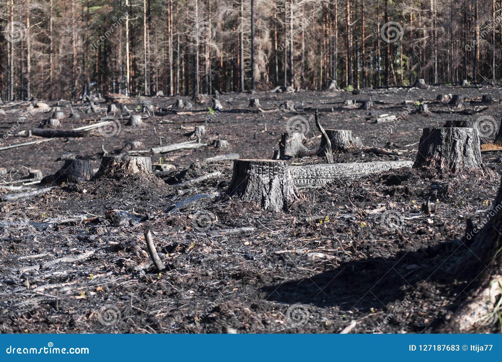 有黑树桩特写镜头的被烧的区域在阳光下在森林火灾以后