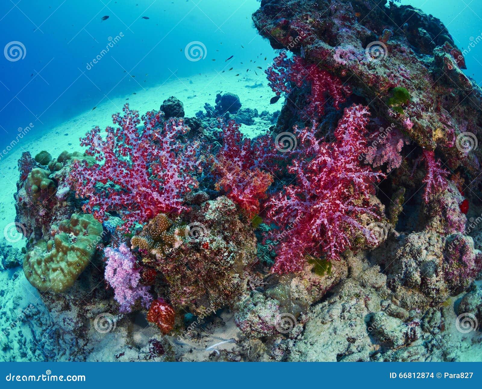 有caral的礁石的潜水者