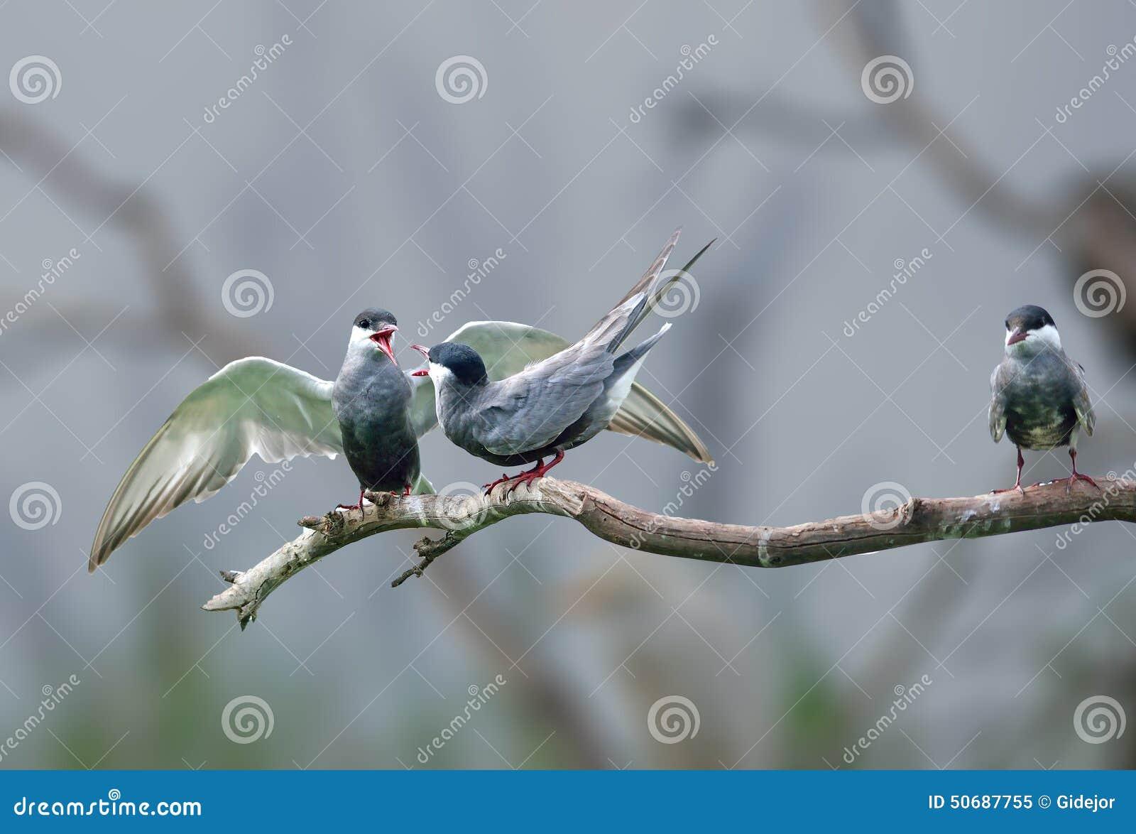 Download 有Whiskered的燕鸥论据 库存图片. 图片 包括有 投反对票, 破擦声, 公园, beautifuler - 50687755