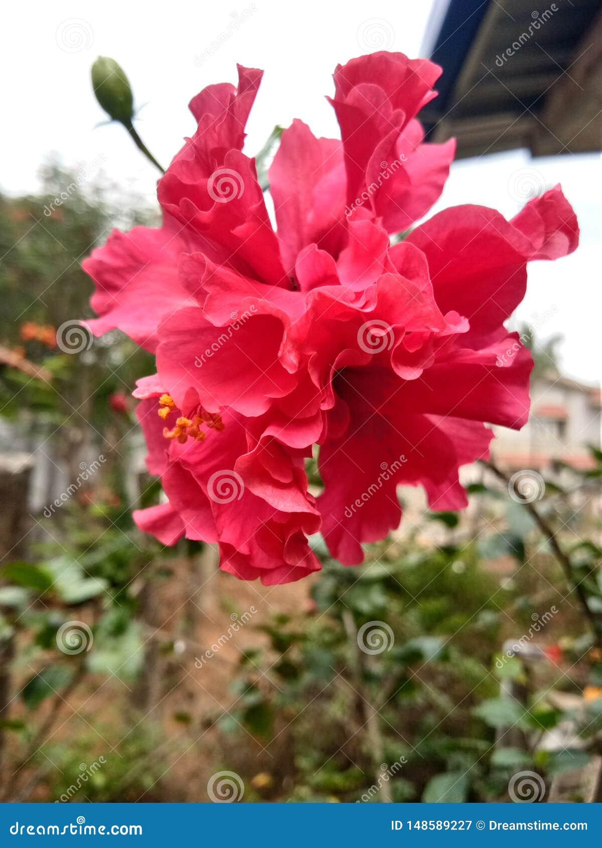 木槿或rosemallow美丽的花