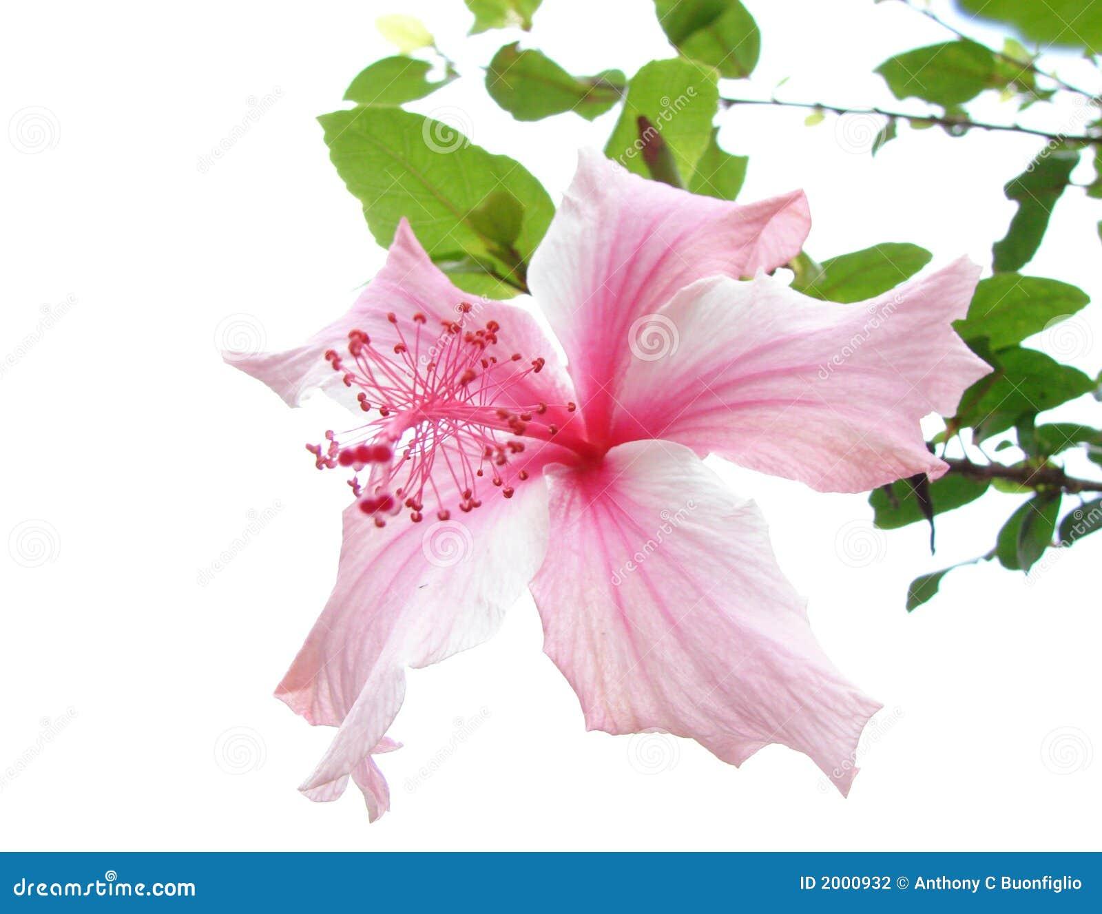 木槿粉红色