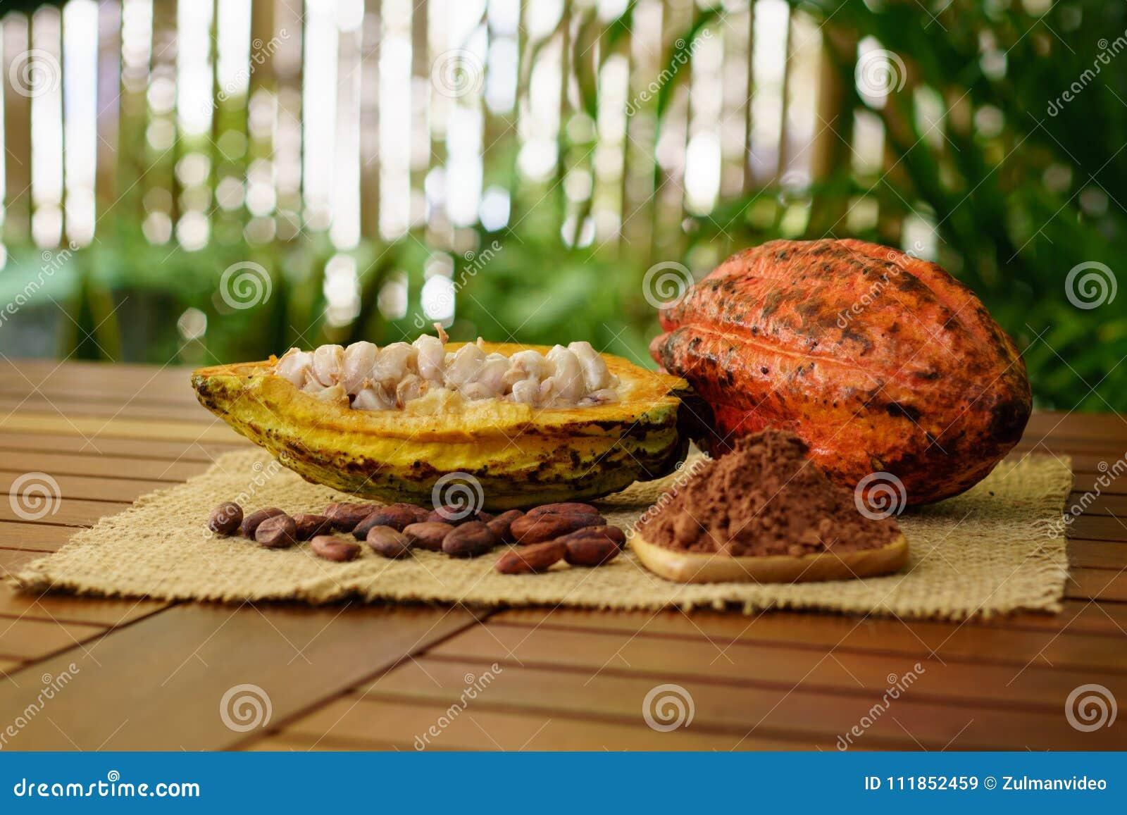 未加工的可可粉荚、恶豆和粉末在木桌上