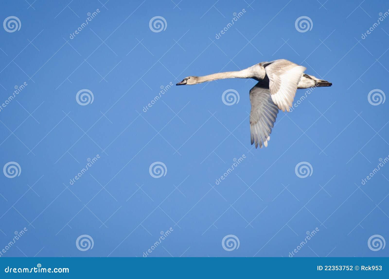 未成熟的疣鼻天鹅