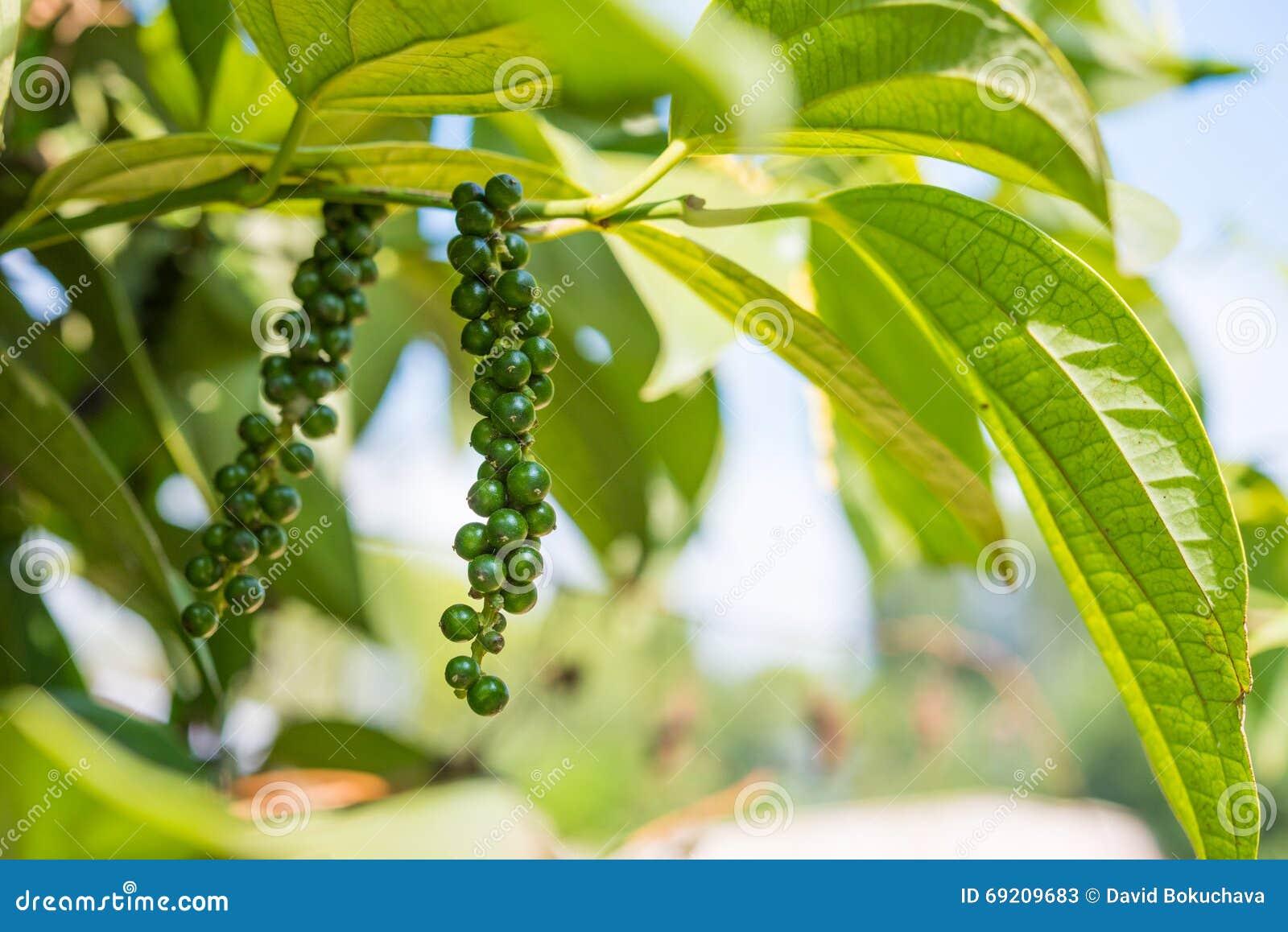 未成熟的黑胡椒,植物用绿色莓果