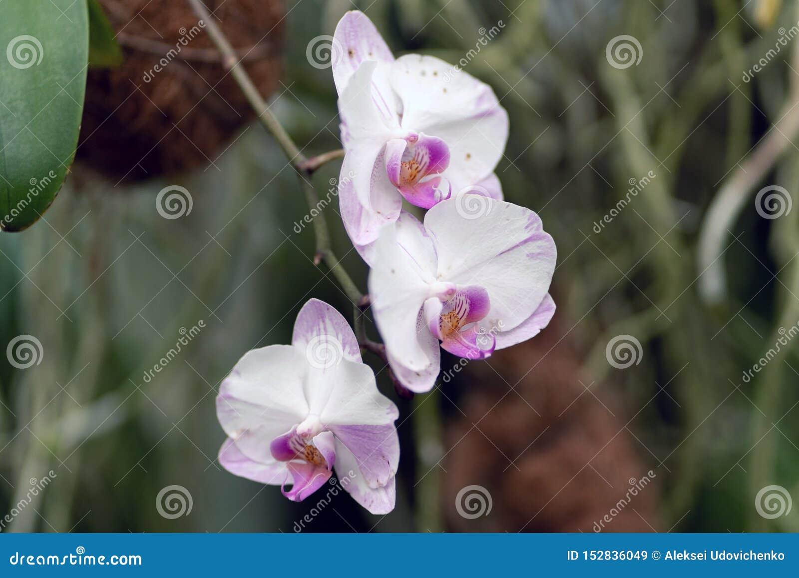 杂种桃红色和白色兰花植物,杂种兰花关闭在软的焦点