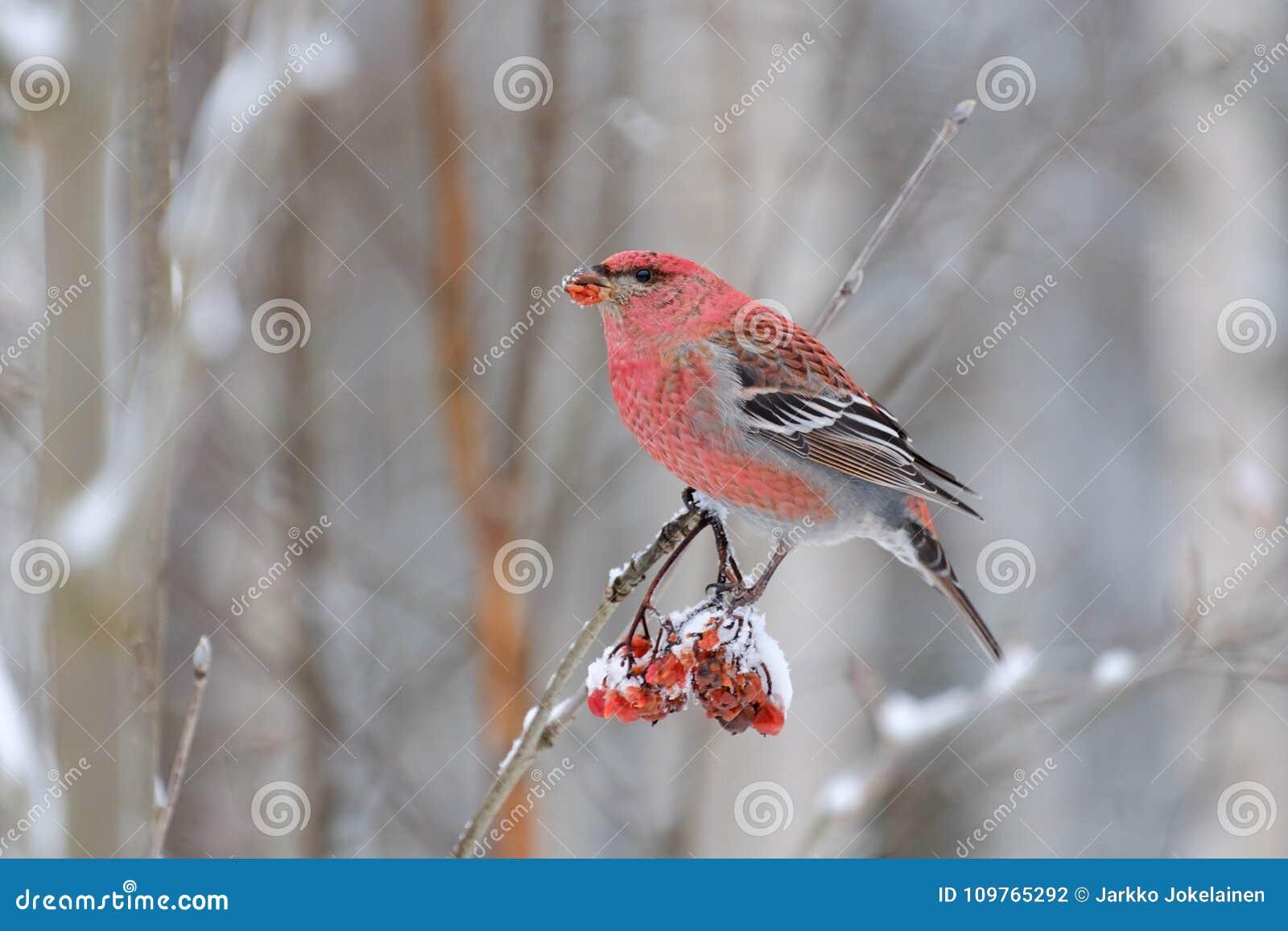 杉木哺养在花楸浆果的蜡嘴鸟男性