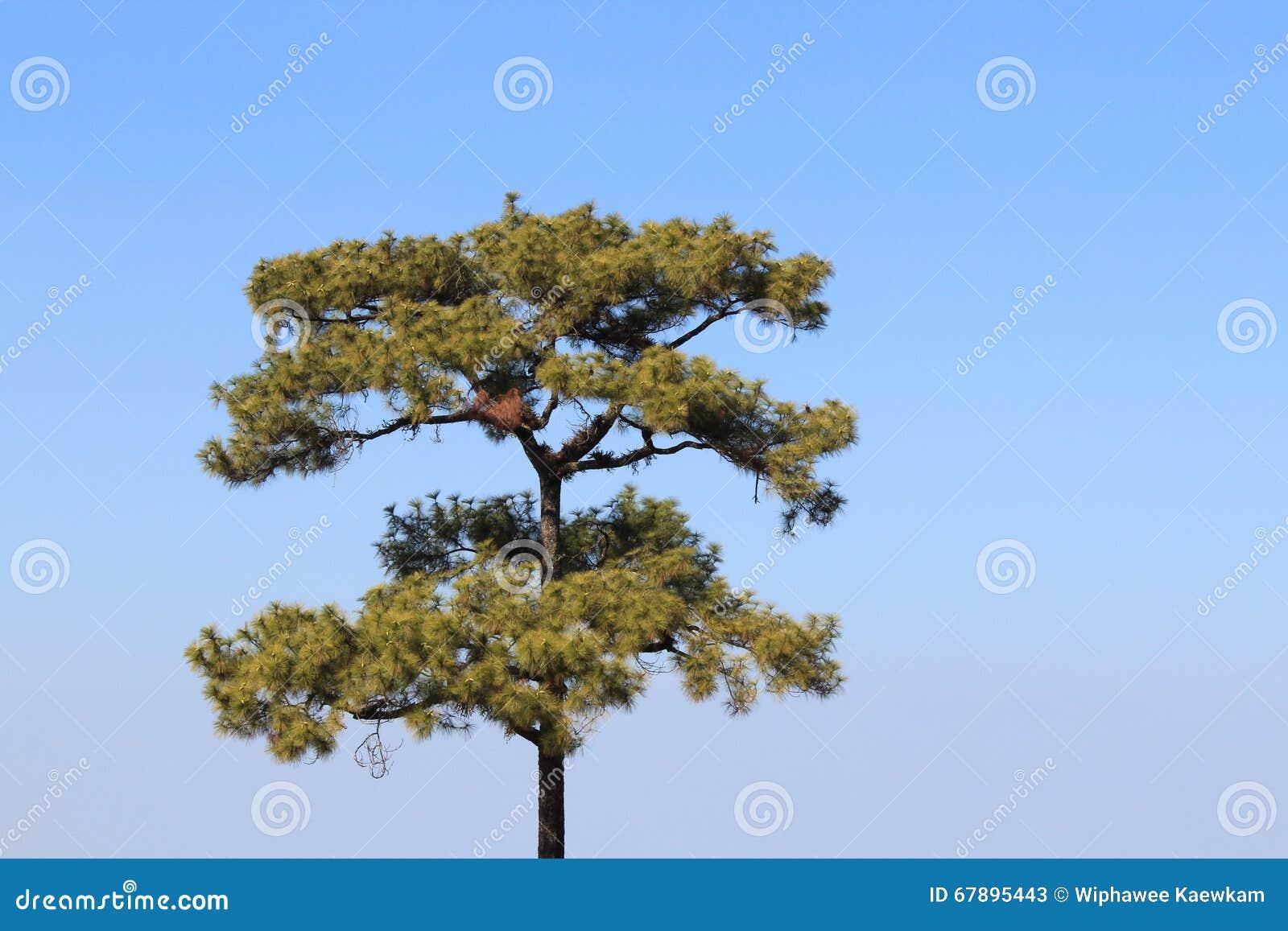 杉木天空结构树