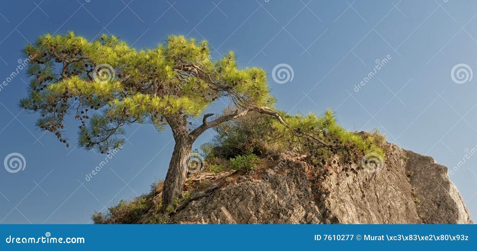 杉木岩石结构树