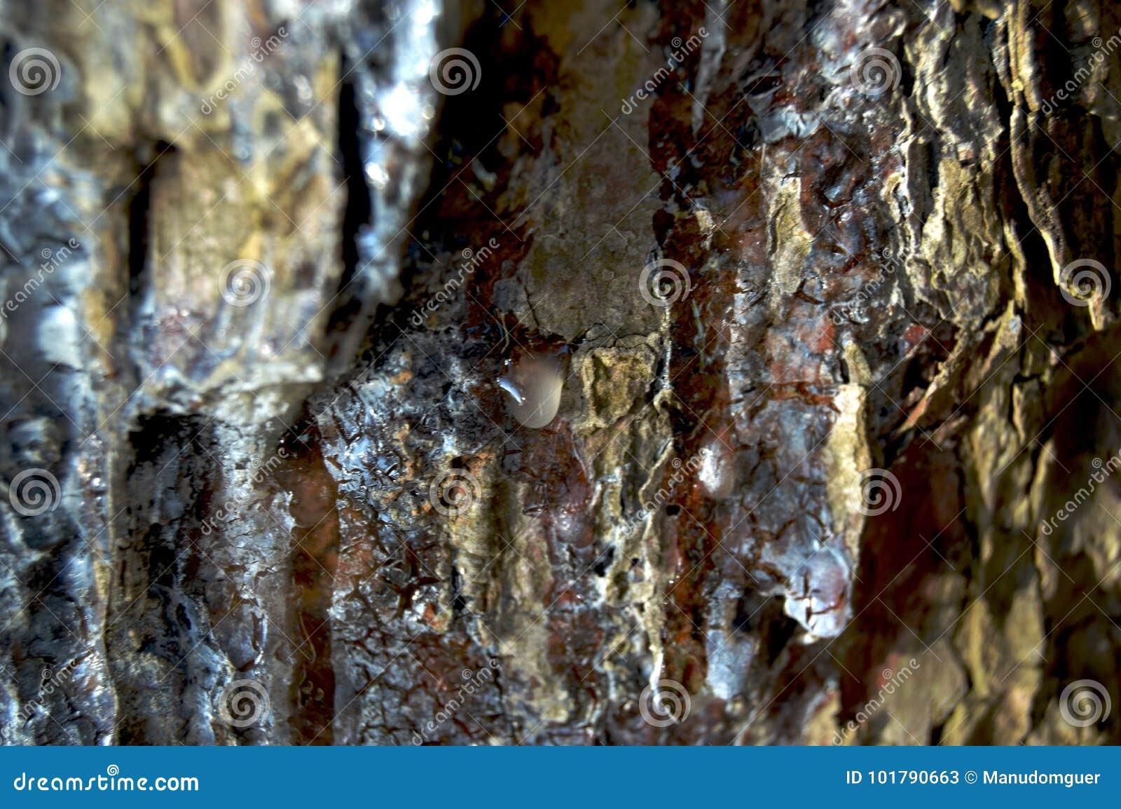 杉木树脂下落