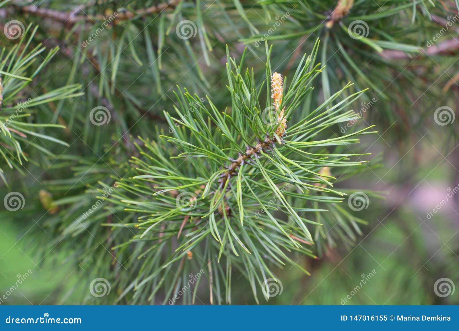 杉木锥体的起源 杉木森林在春天