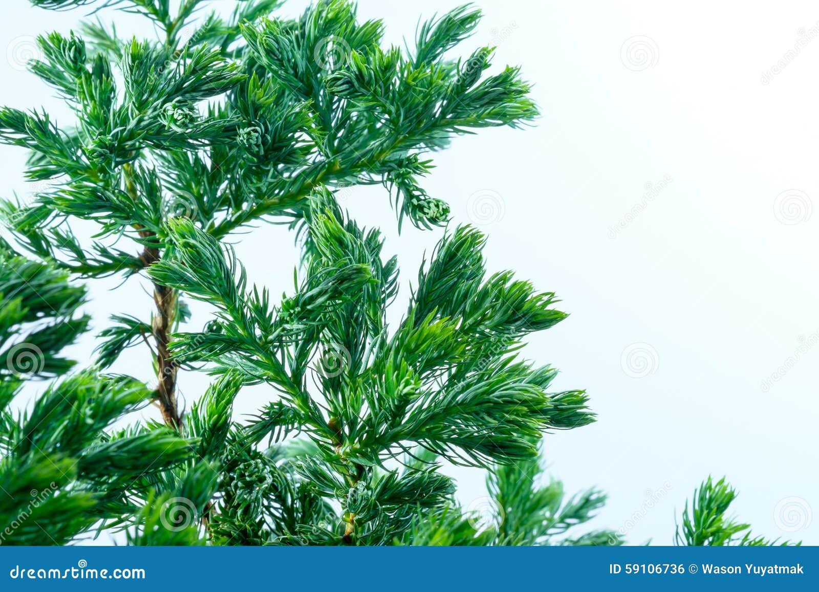 杉树关闭叶子