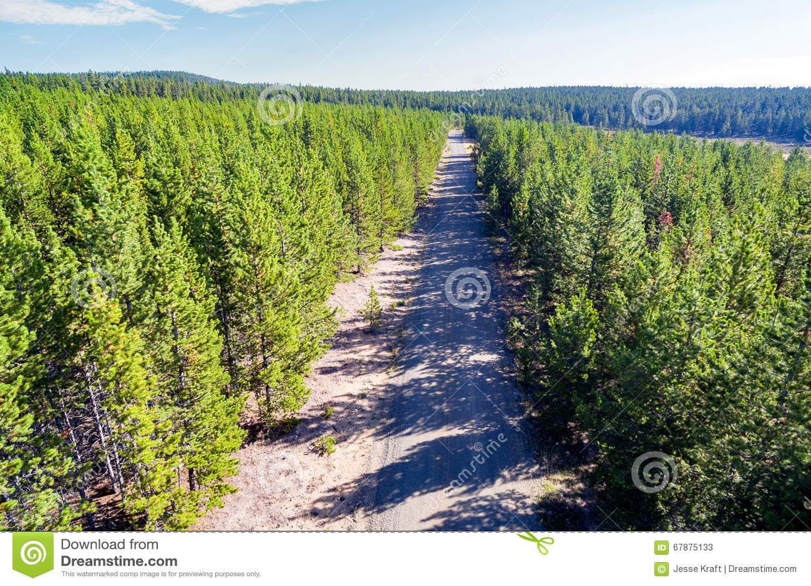 杉树和土路