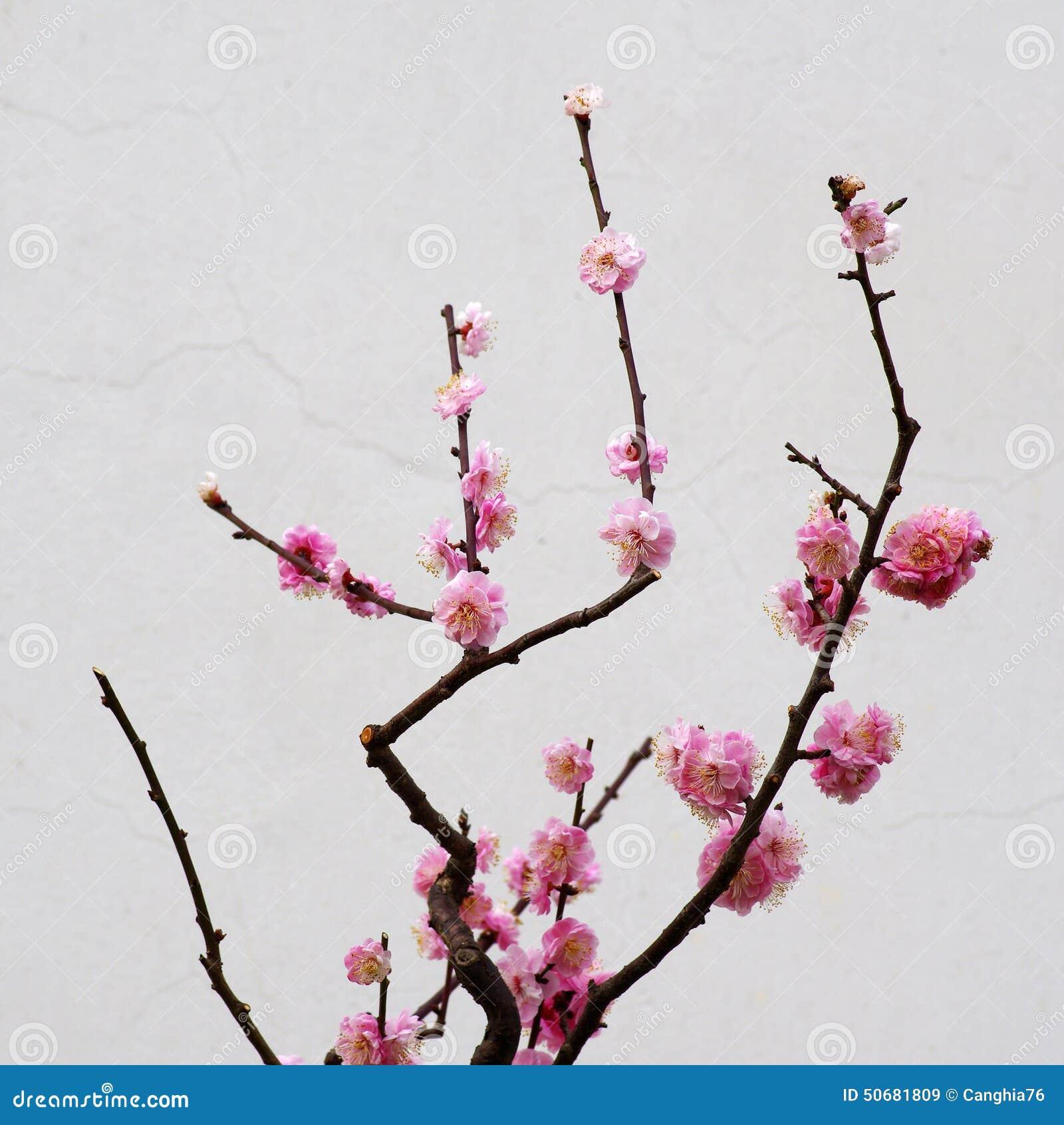 Download 李子花开花 库存图片. 图片 包括有 空白, 粉红色, 芬芳, 水平, 五颜六色, 新鲜, 开花, brander - 50681809