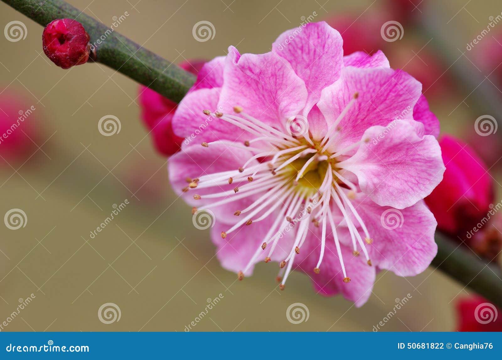 Download 李子花开花 库存照片. 图片 包括有 五颜六色, 粉红色, 空白, 自然, 格式, 工厂, 芬芳, 水平 - 50681822