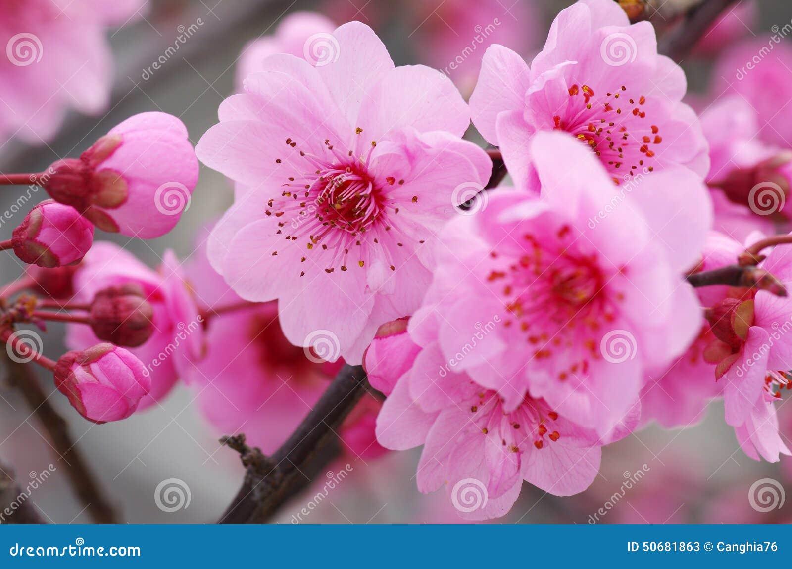 Download 李子花开花 库存图片. 图片 包括有 空白, 新鲜, 自然, 开花, brander, 五颜六色, 格式 - 50681863